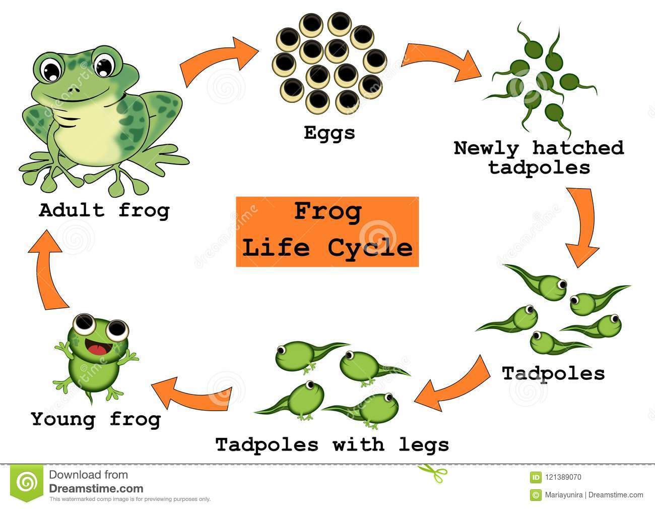 Frog Life Cycle Concept Stock Illustration Illustration