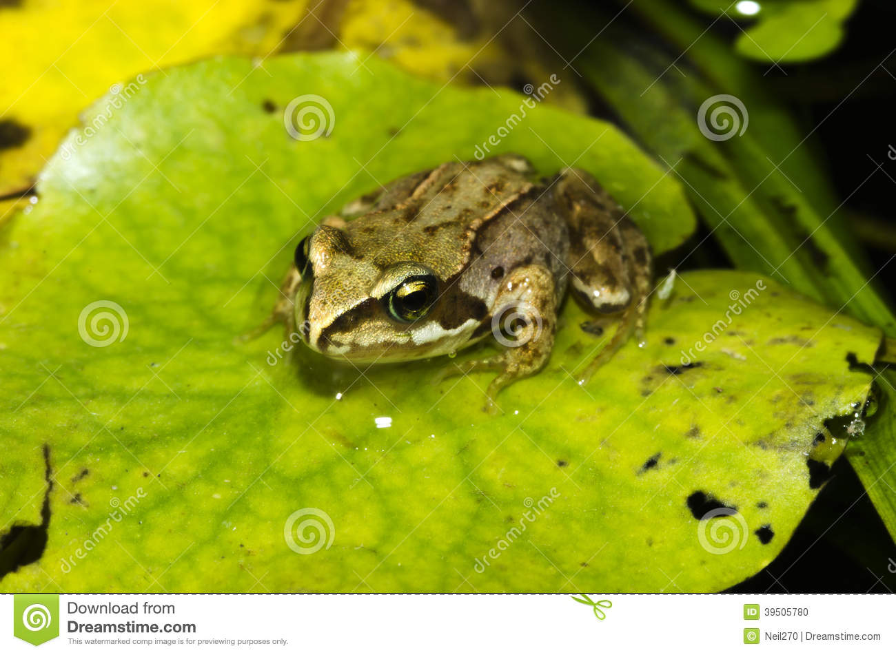 A Frog Sat On A Lily Pad Stock Photo Image Of Pond Lily