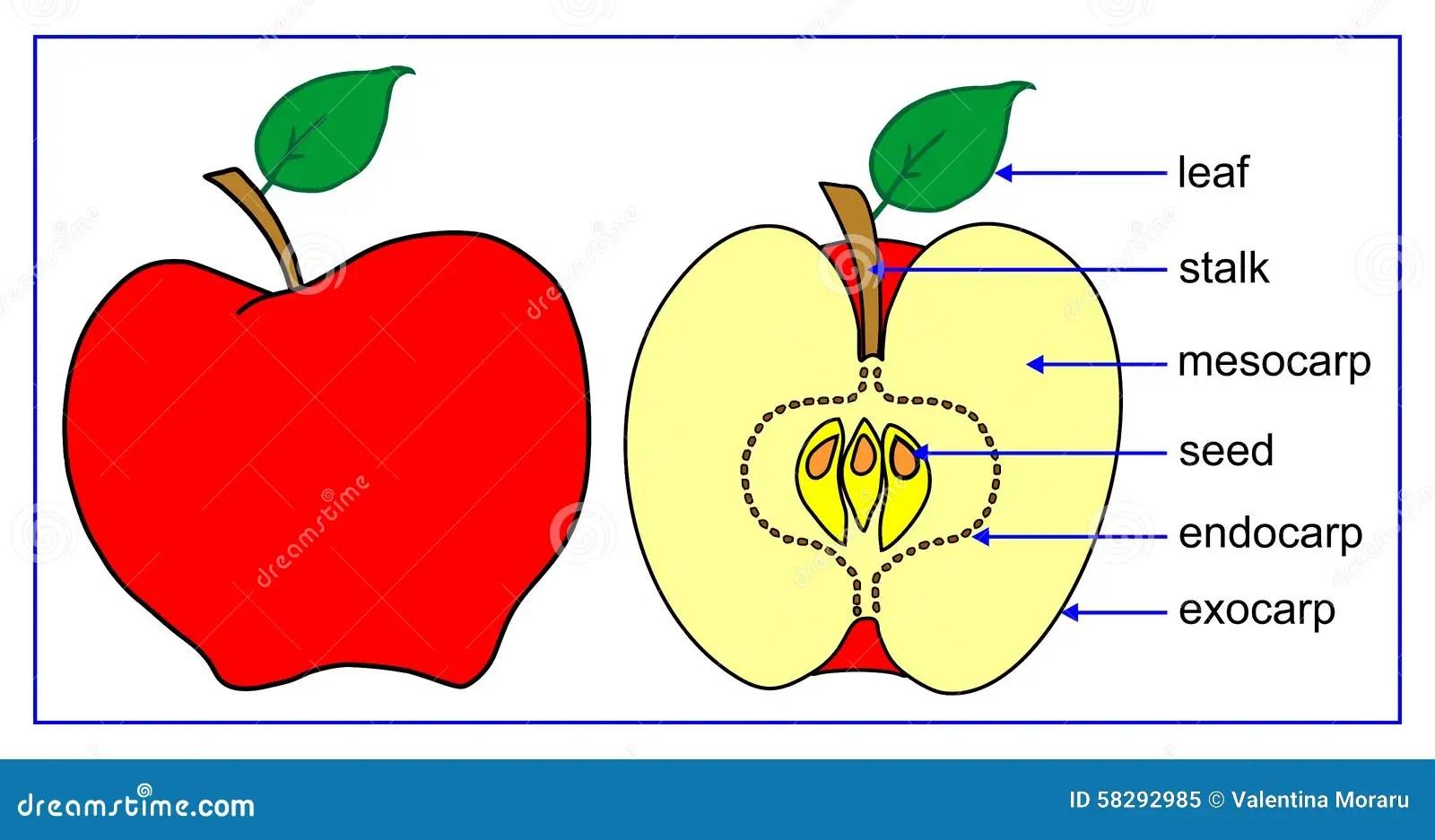 Fruktdelar Vektor Illustrationer Illustration Av Farg