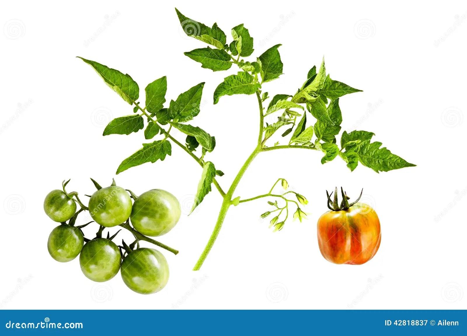 Galho Da Planta De Tomate Com Flores E Os Tomates De