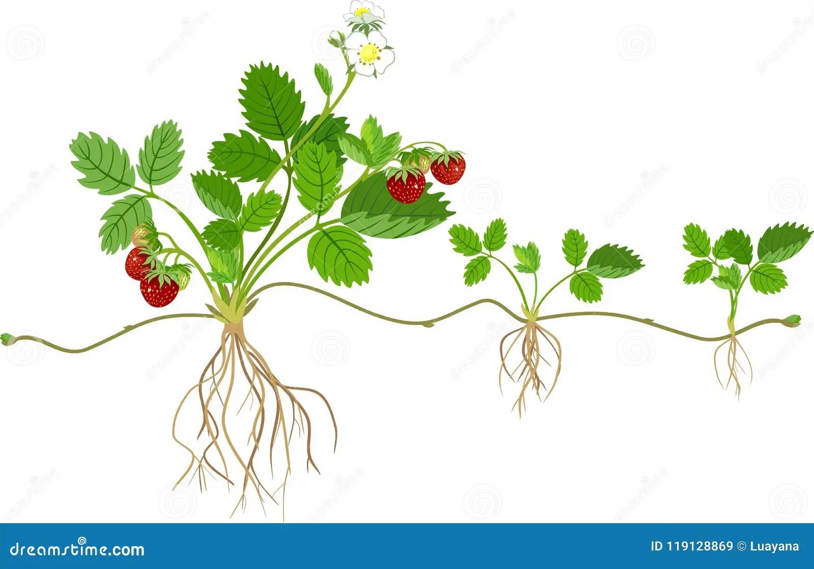 Morphology Of Garden Strawberry Plant Stock Vector