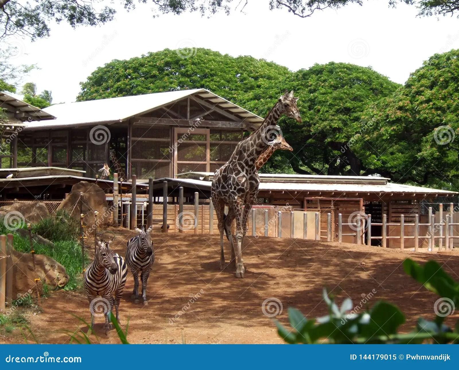 Giraffe And Zebra In The Zoo Of Hawaii Stock Image