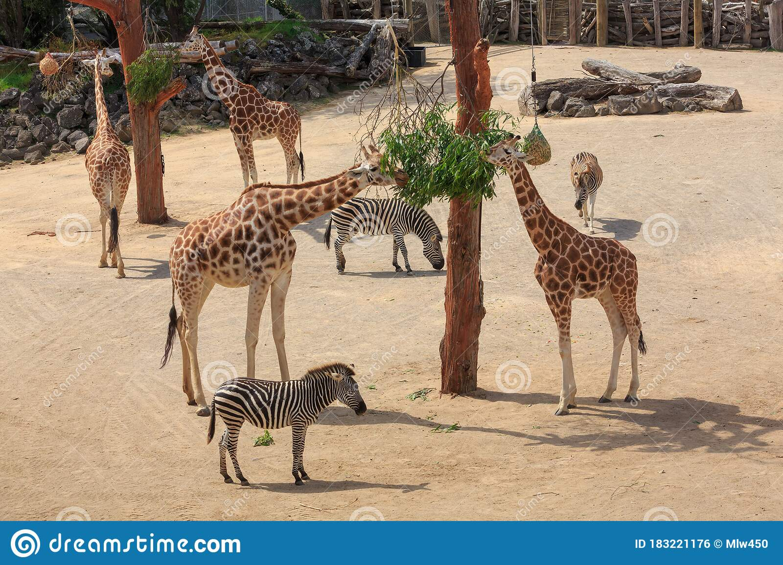 Giraffes And Zebras Living Together At A Zoo Stock Photo