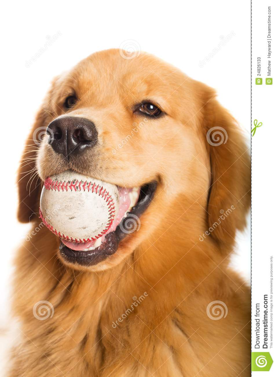 Golden Retriever With A Baseball Stock Photos Image