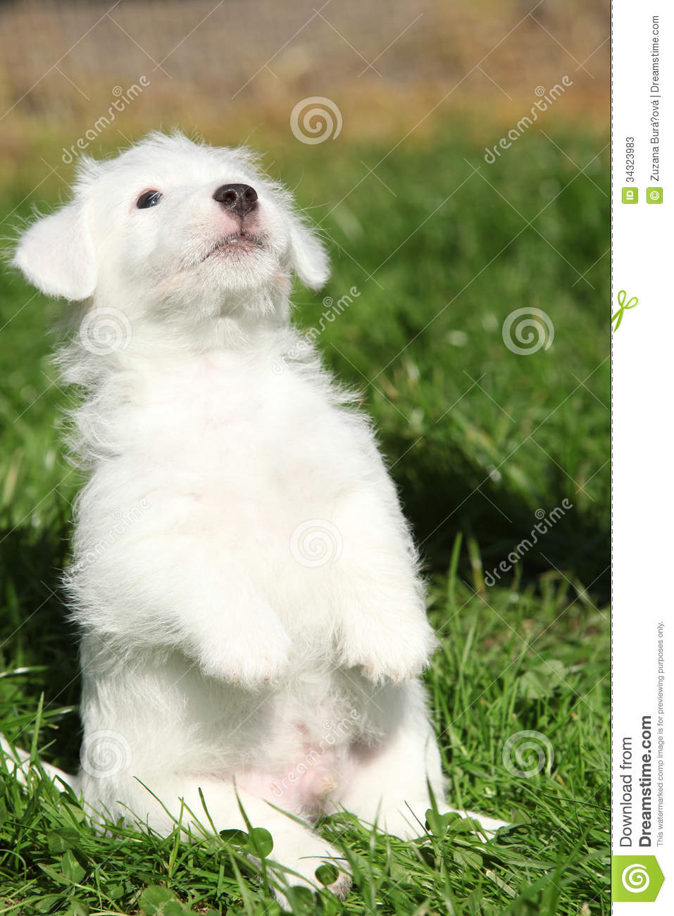 Gorgeous Jack Russell Terrier Puppy Begging Stock Photos