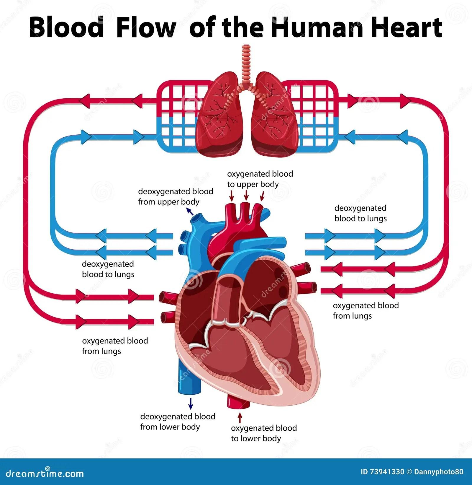 Grafico Che Mostra Flusso Sanguigno Di Cuore Umano