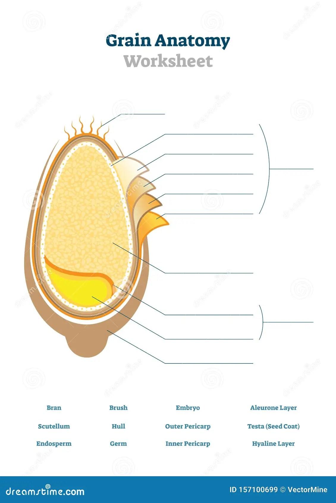 Grain Anatomy Worksheet Vector Illustration Blank Seed