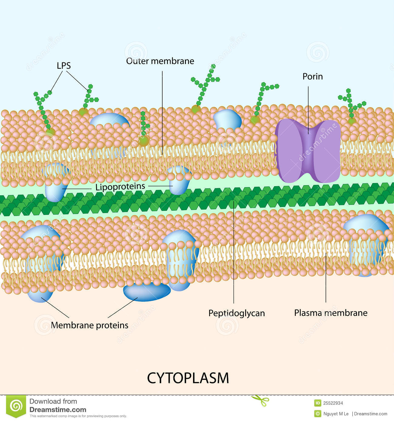 Gram Negative Bacterial Cell Wall Stock Images