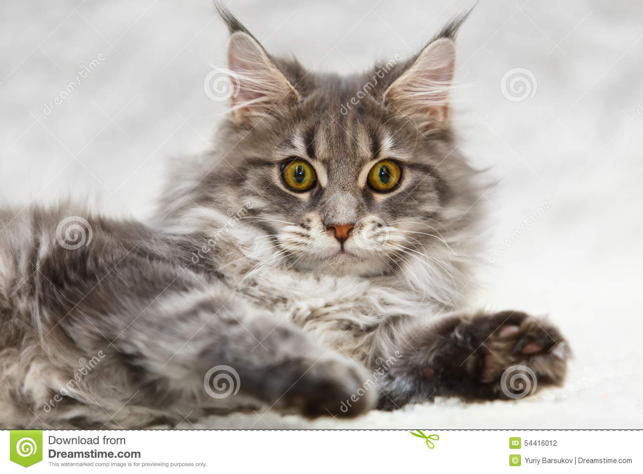 Gray Maine Coon Cat With Yellow Eyes Posing On White