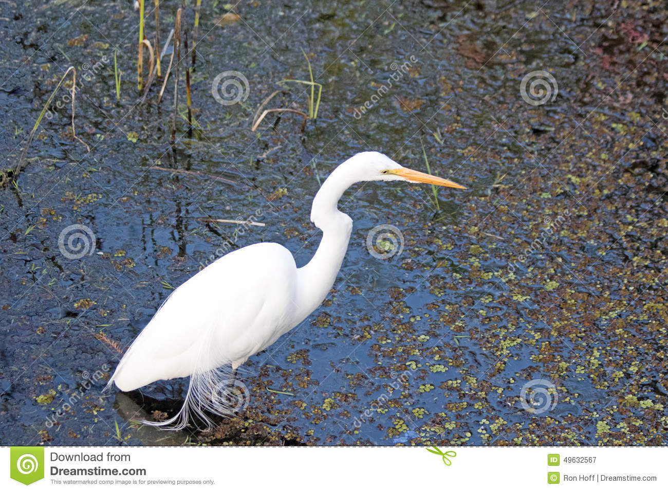 A Great White Egret In A Marsh Stock Image Image Of