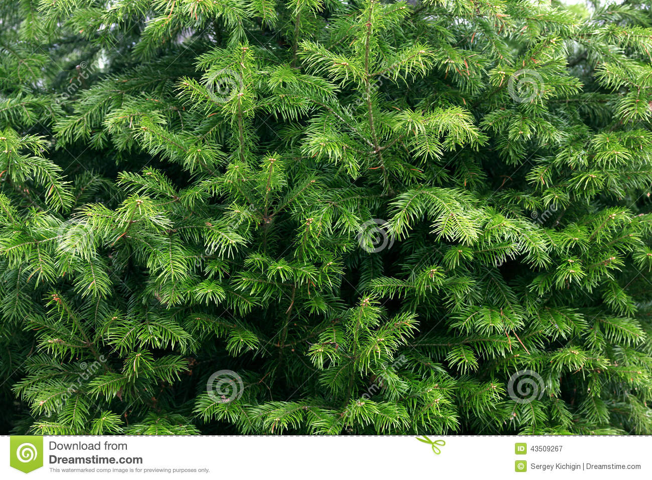 Green Fir Tree Branches Texture Stock Image Image 43509267