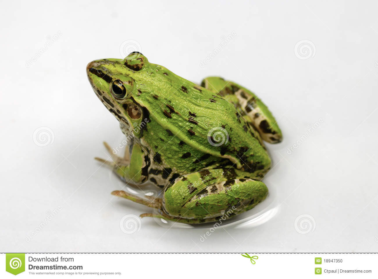 Green Frog Stock Photo Image Of Close Macro Animal