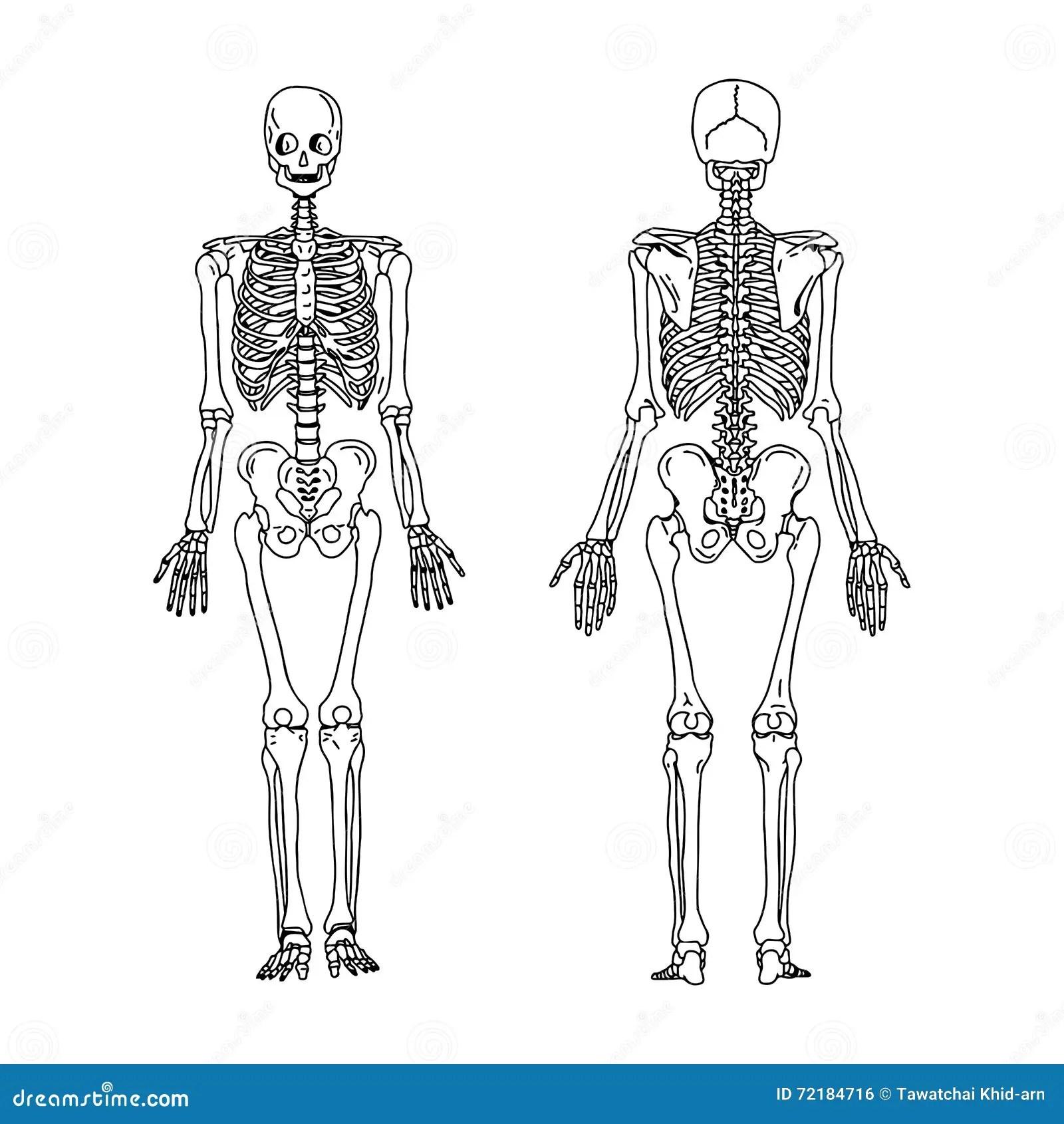 Squelette Humain De Dessin Stock Illustrations Vecteurs