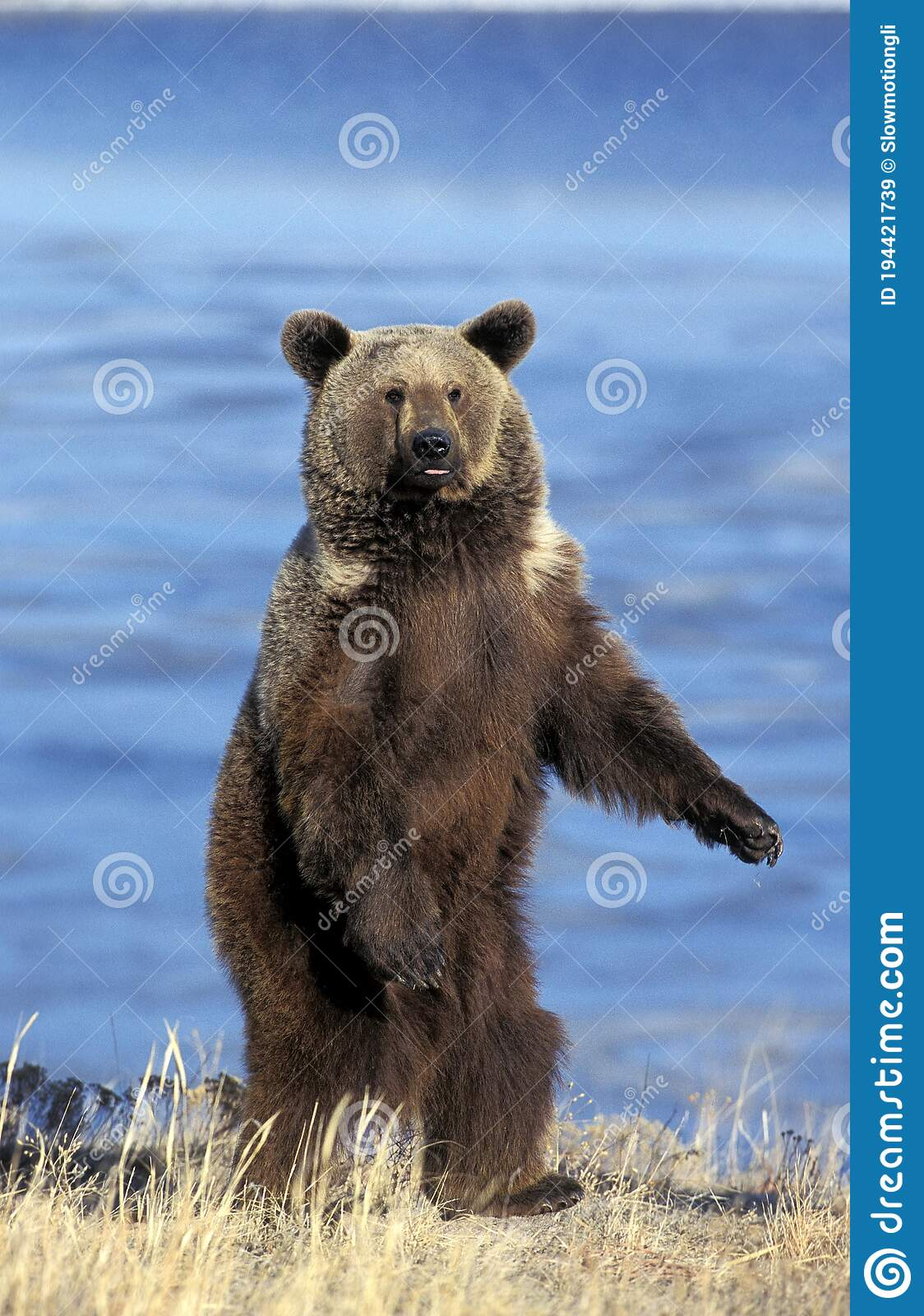 2 689 Grizzly Bear Standing Photos Free Royalty Free Stock Photos From Dreamstime