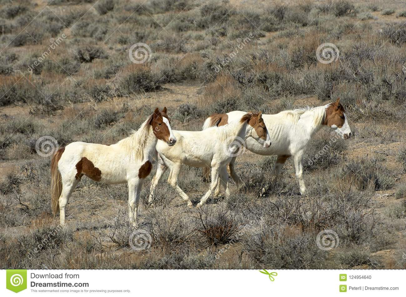 A Group Of Three Mustangs Stock Photo Image Of Mammals