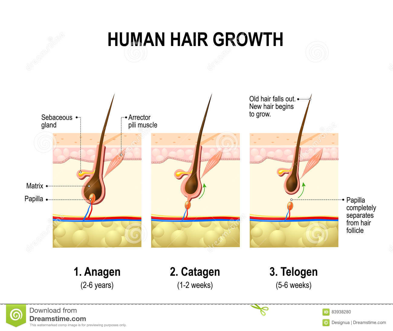 Hair Growth Anagen Catagen And Telogen Stock Vector