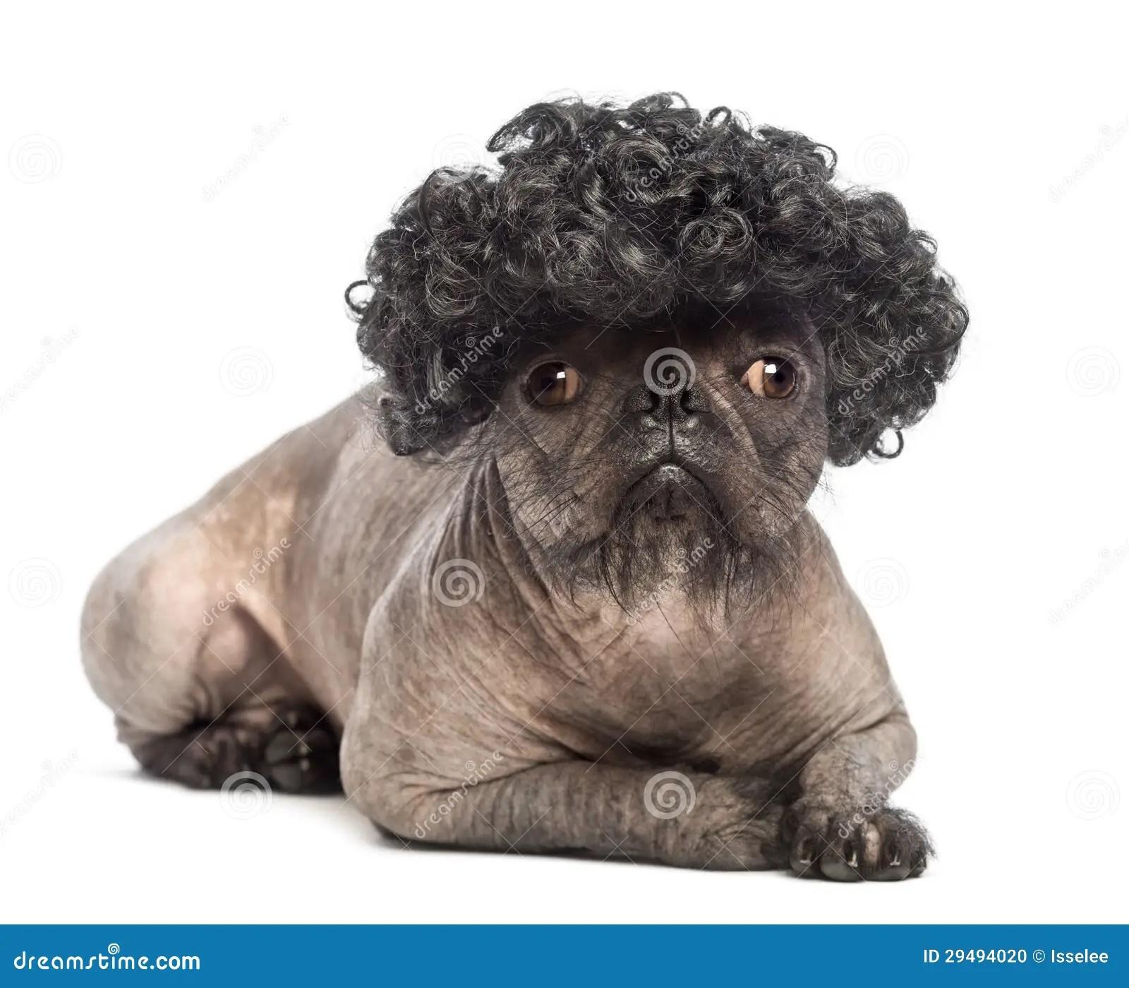 Hairless Mixed Breed Dog Mix Between A French Bulldog And