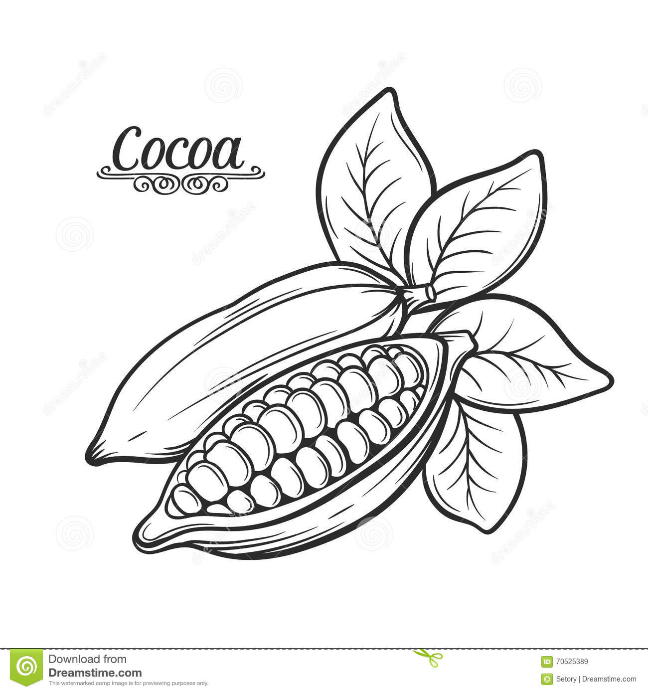 Hand Drawn Cocoa Bean Stock Vector Image Of Cracked