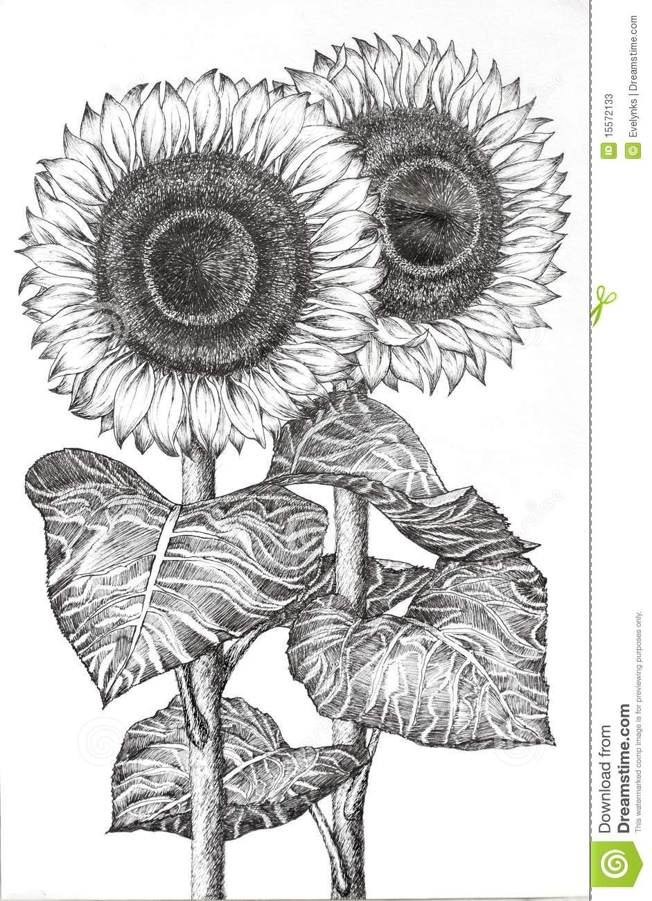 Hand Drawn Image Of Two Sunflowers Stock Illustration Illustration Of Blossom Original 15572133