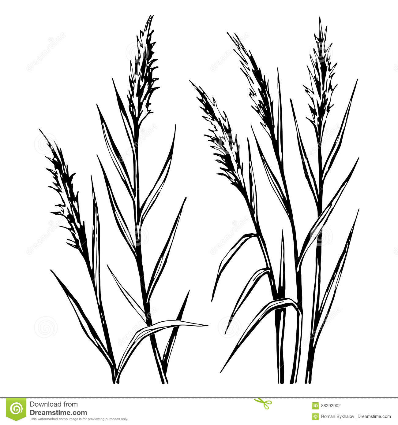 Hand Drawn Sketch Of The Reed Isolated On White Background