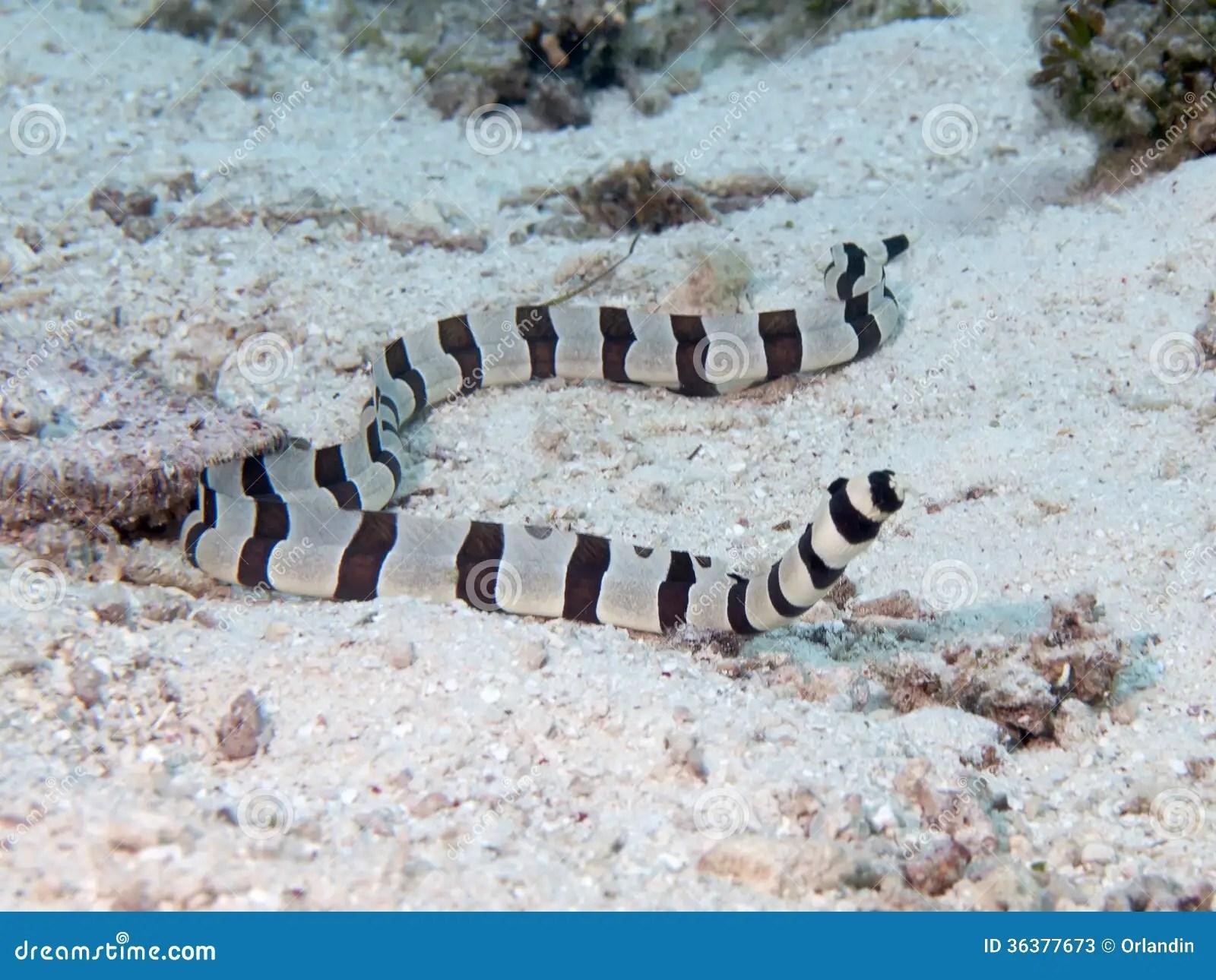 Harlequin Snake Eel Stock Image Image Of Animal Diving