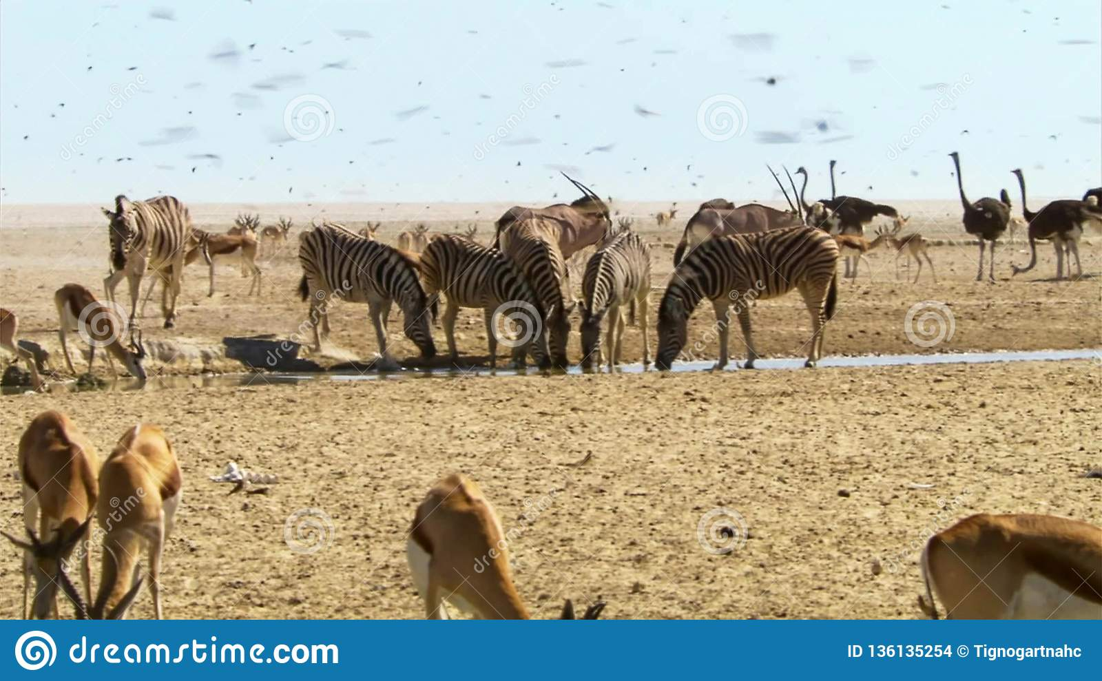 Herd Of Animals Undertake Long Journeys In Search Of Water Migration Of Animals In The African