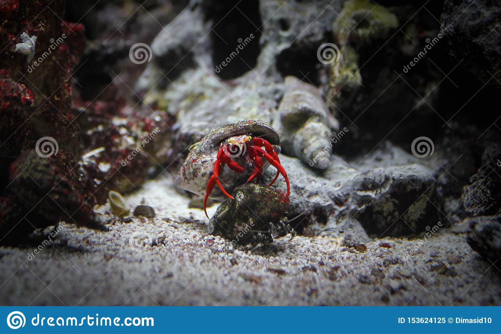 Hermit Crab Red Color In Shell At Bottom Of Sea Stock