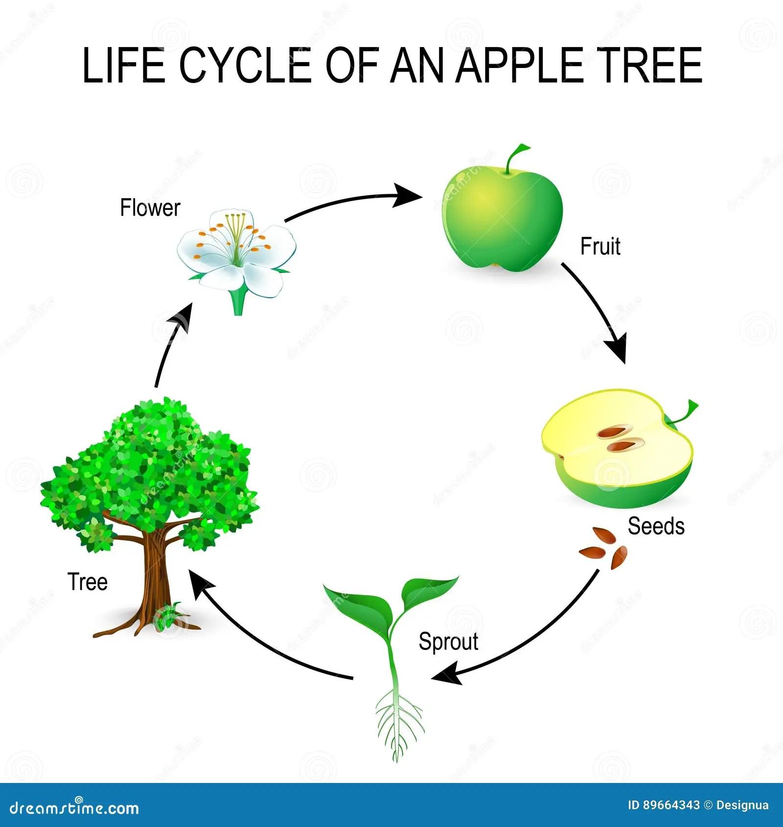 Het Levenscyclus Van Een Appelboom Vector Illustratie