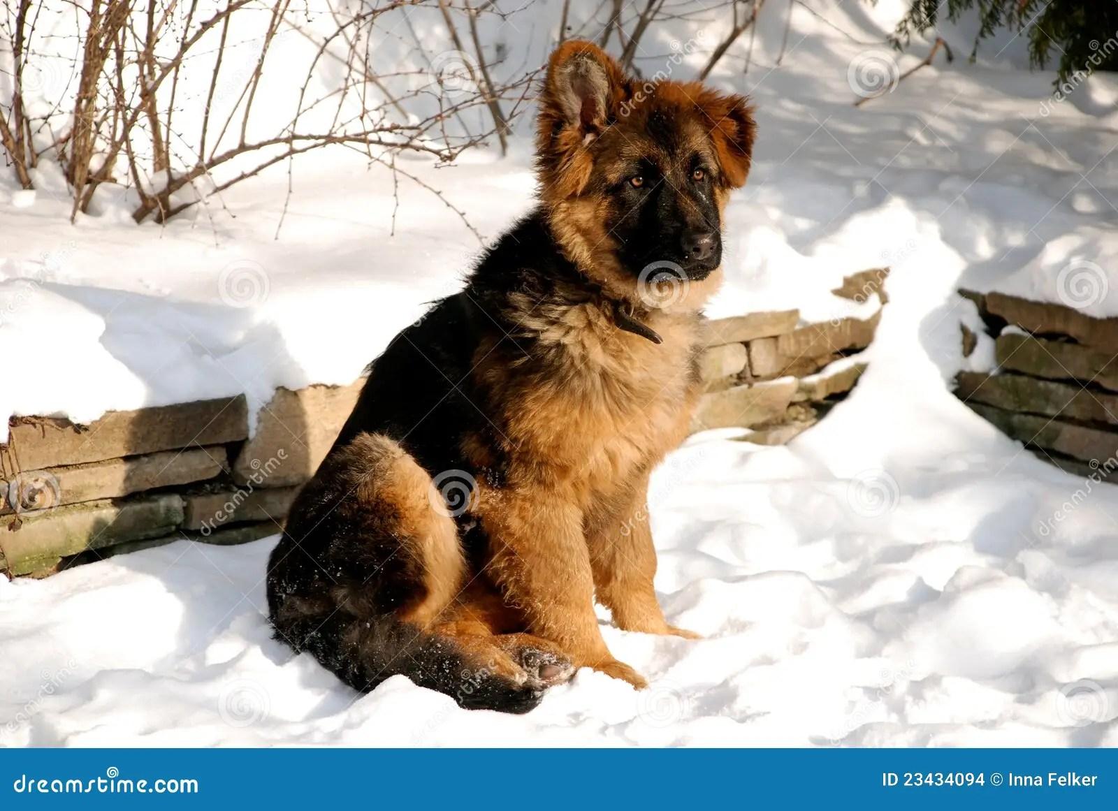 Het Puppy Van De Duitse Herder Op De Sneeuw Stock Foto