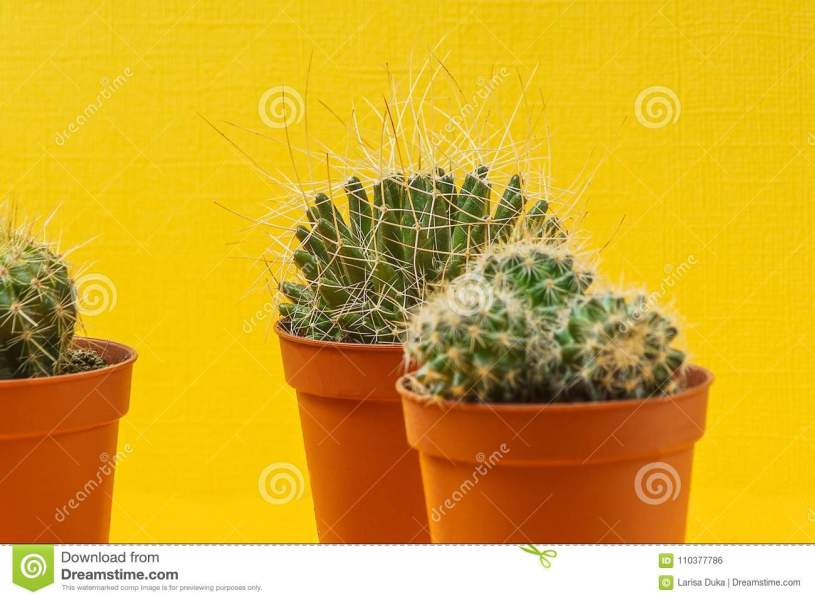 Succulent Plants Indoor On Yellow Bright Background  Stock Photo     Download Succulent Plants Indoor On Yellow Bright Background  Stock Photo    Image of indoor