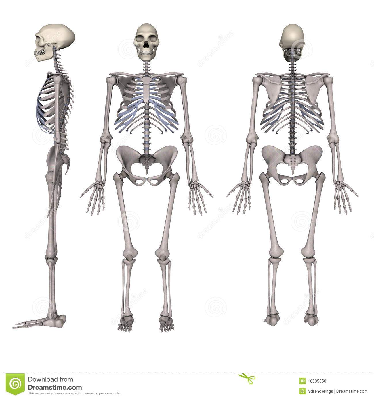 Homo Erectus Stock Photo