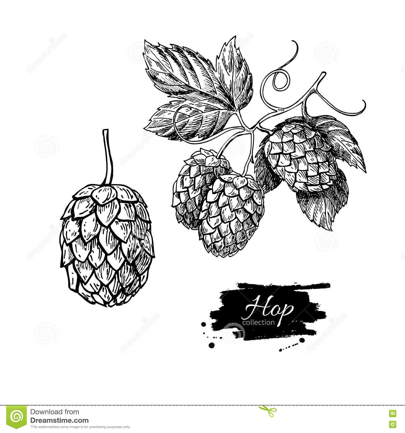 Hop Plant Drawing Illustration Hand Drawn Artistic Beer
