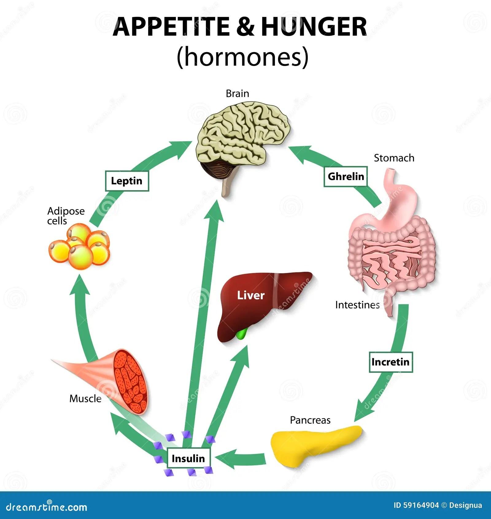Hormones Appetite Amp Hunger Stock Photo