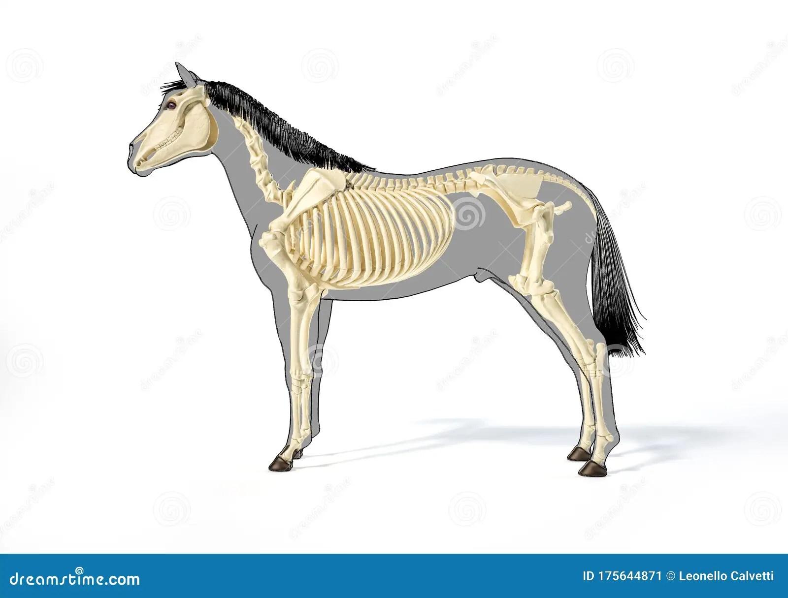Horse Anatomy Skeletal System Stock Illustration