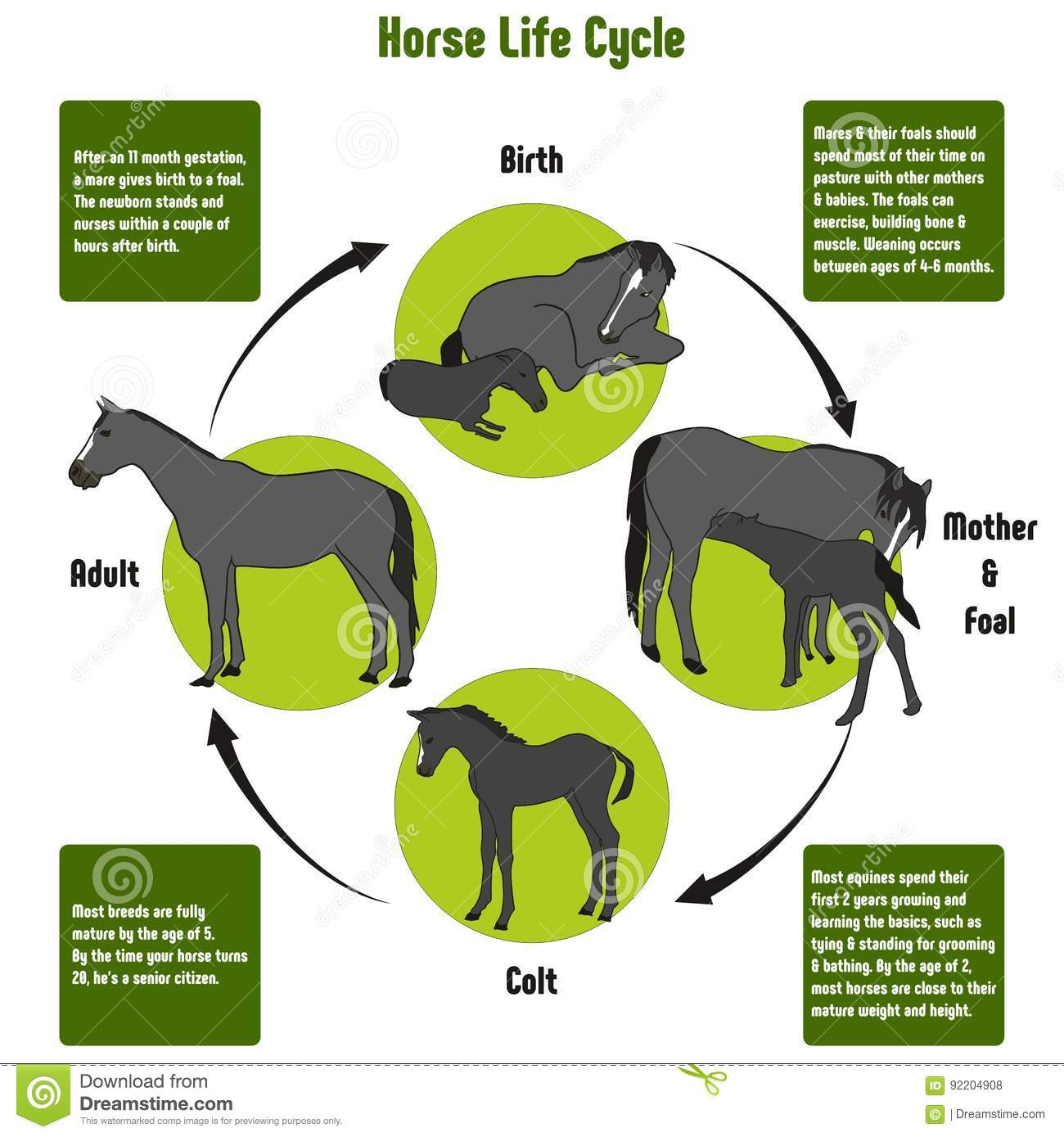 Horse Life Cycle Diagram Stock Vector Illustration Of