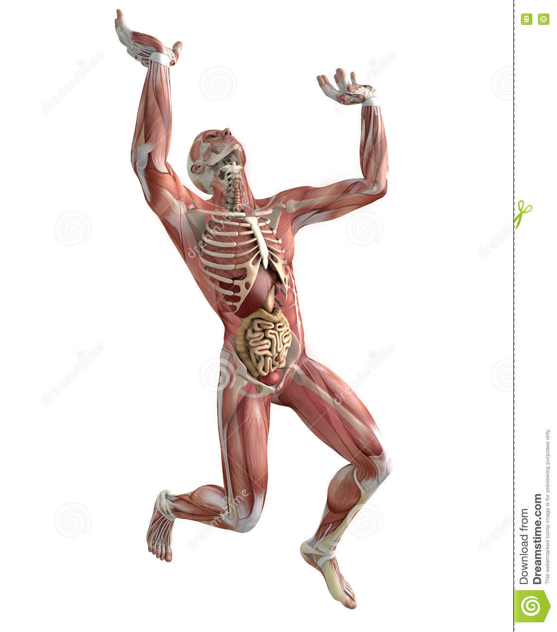 Human Body Muscular System Weightlifting Lifting Anatomy Stock Illustration