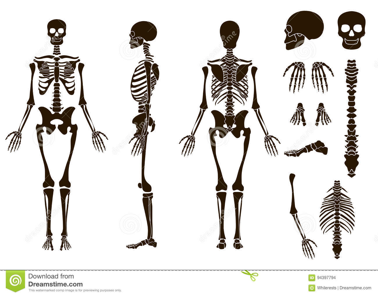 Structure Human Skeleton Worksheet