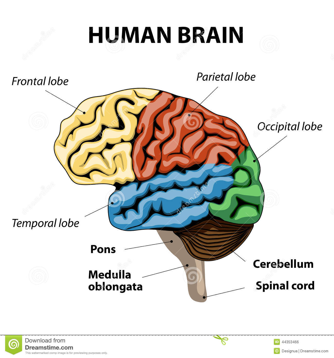 Human Brain Anatomy Stock Vector