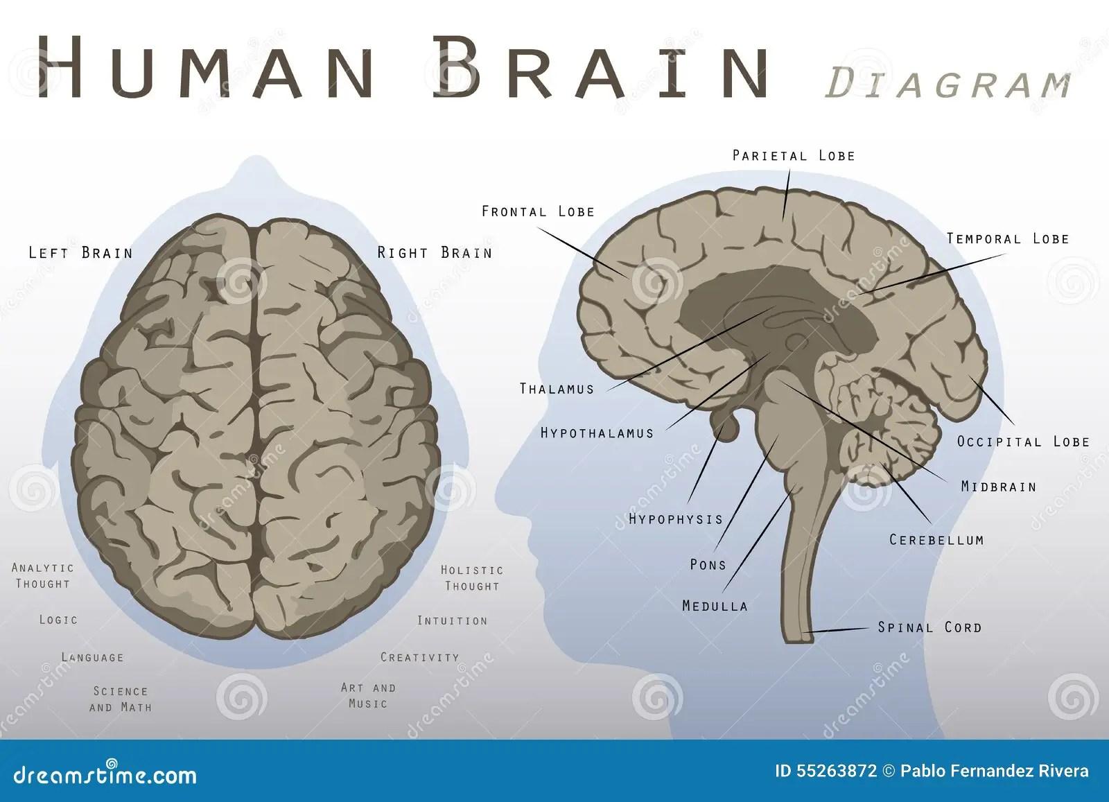 Human Brain Diagram Stock Illustration Illustration Of