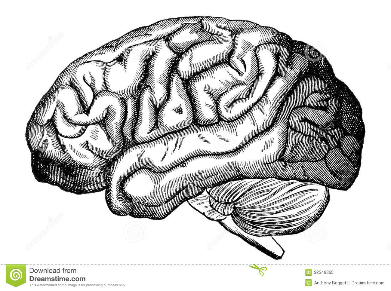 Human Brain Stock Illustration Image Of Biology Engraved