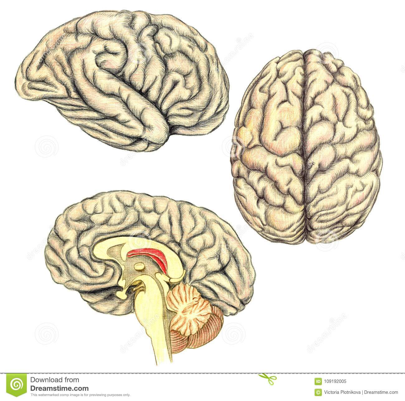 Human Brain Side View View From Above And Viewed Through