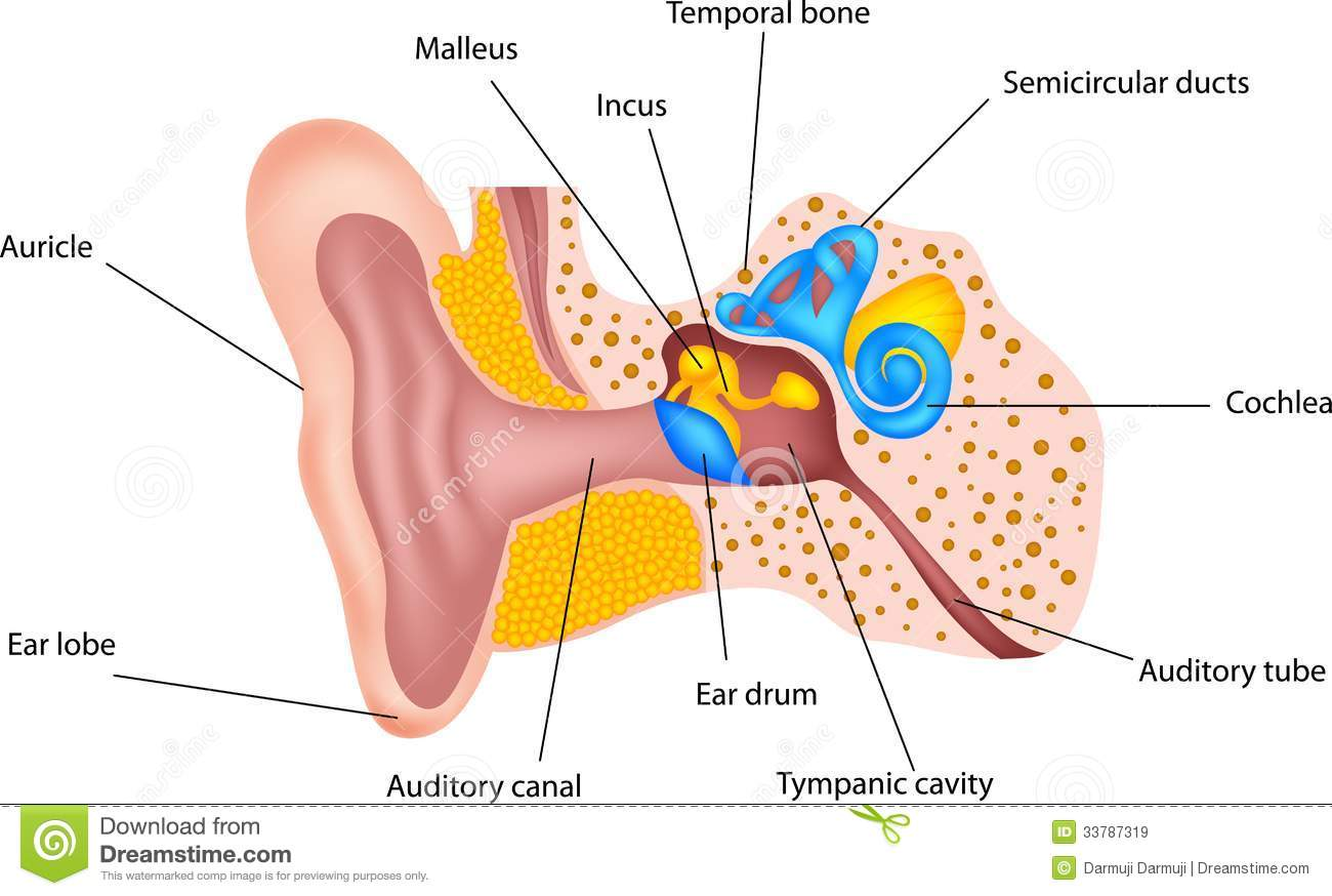 Human Ear Anatomy Stock Vector Image Of Acoustic Drawing