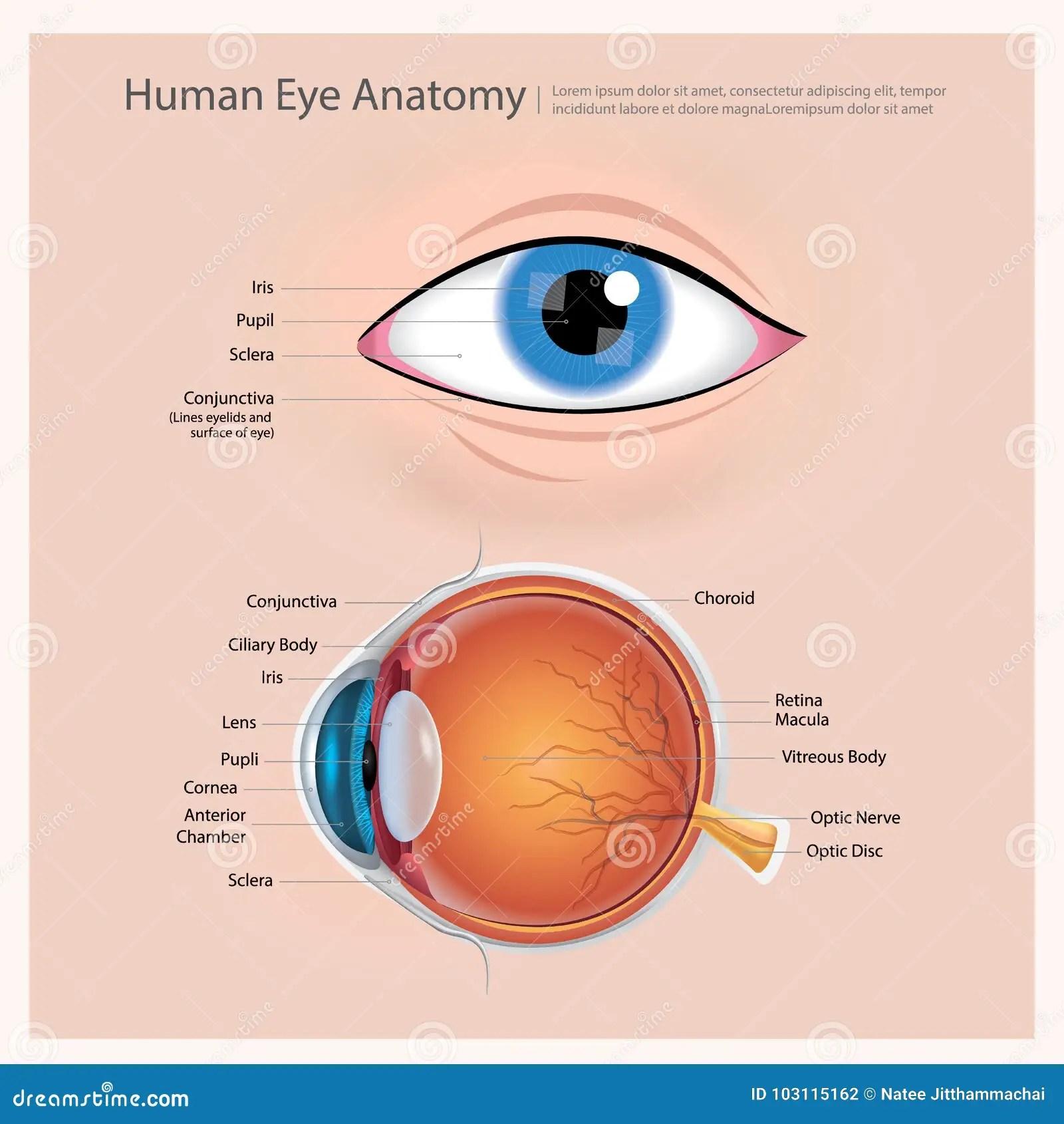 Human Eye Anatomy Stock Vector Illustration Of Anterior