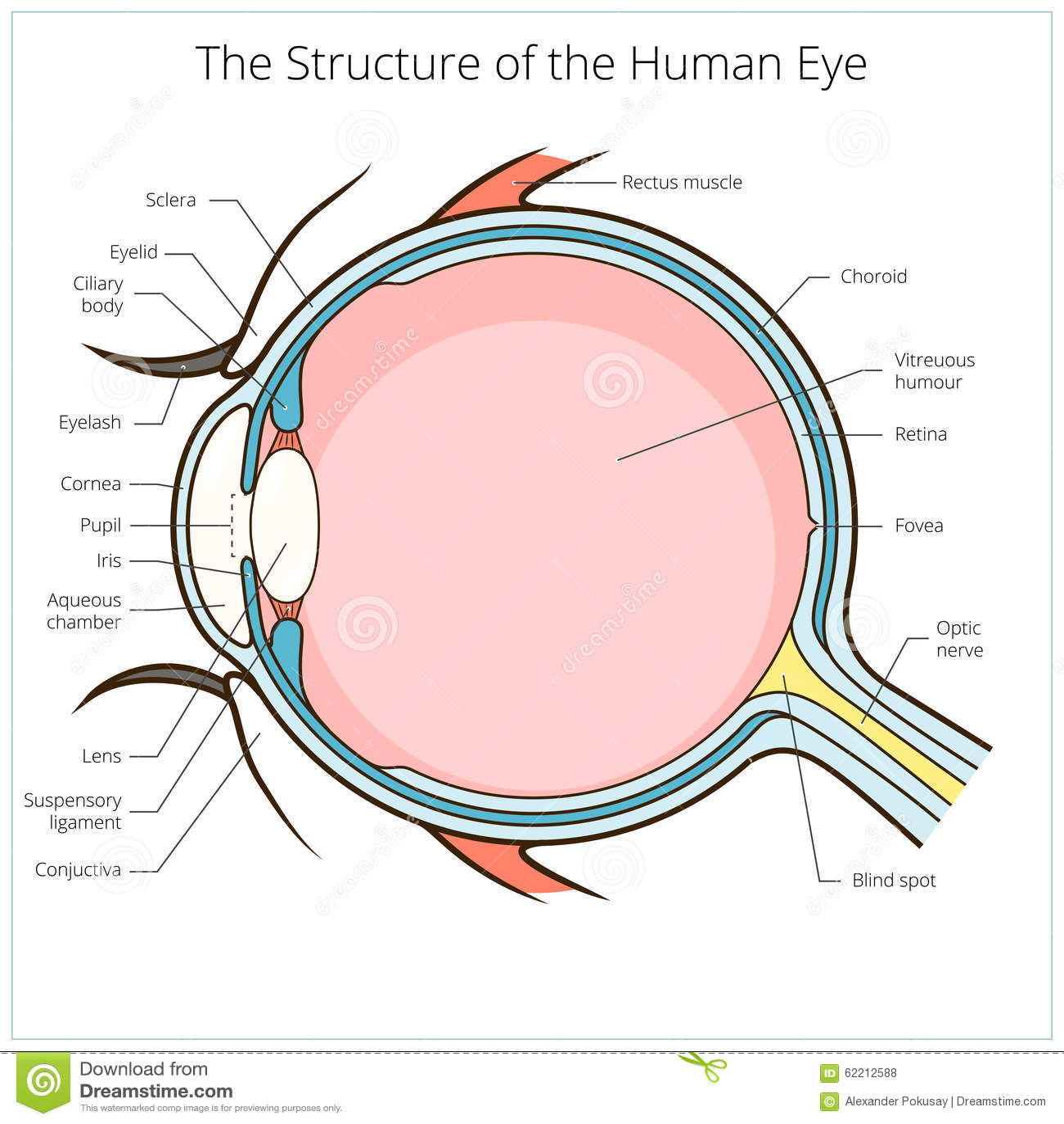 Human Eye Structure Scheme Vector Stock Vector