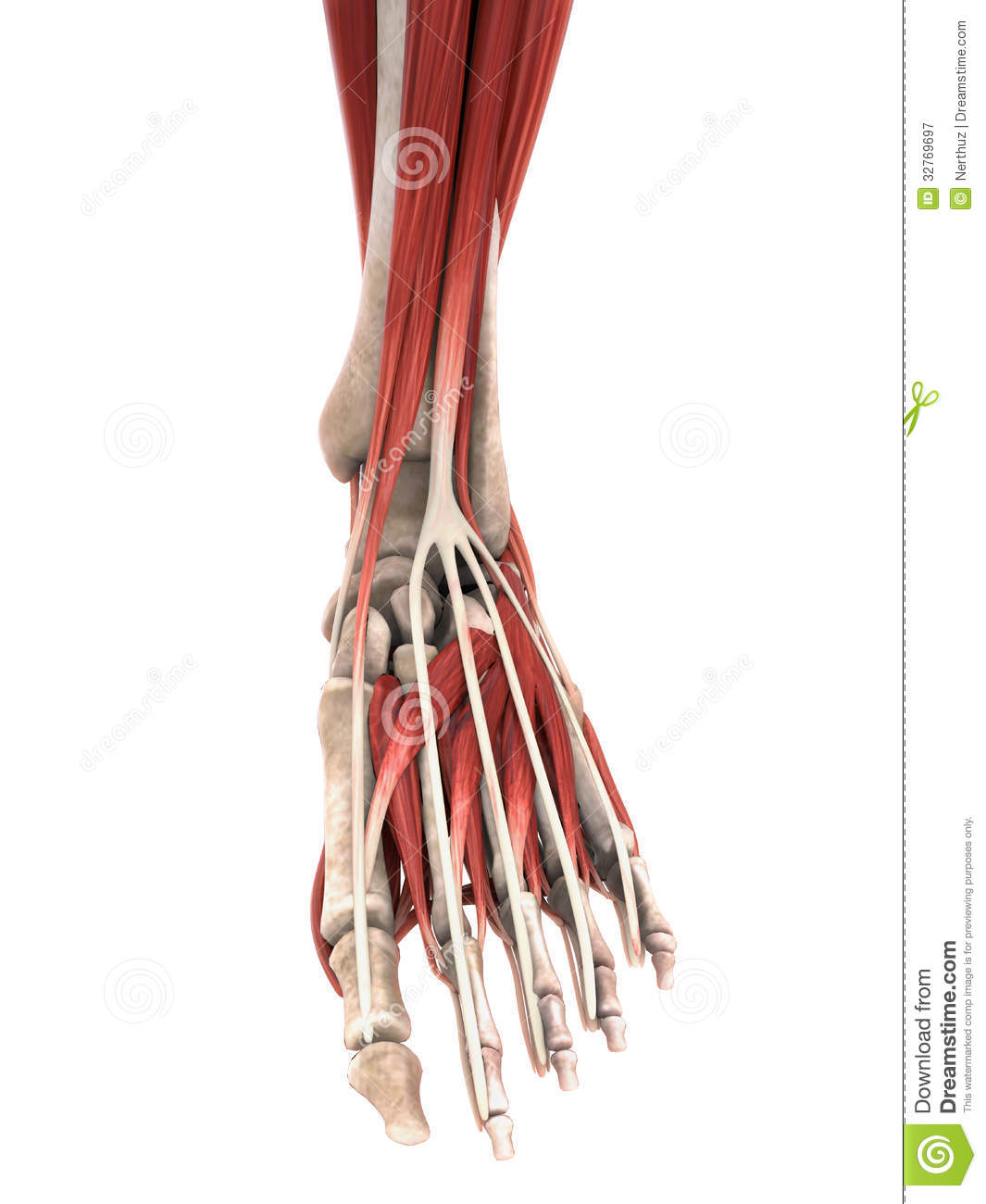 Human Foot Muscles Anatomy Royalty Free Stock Photography