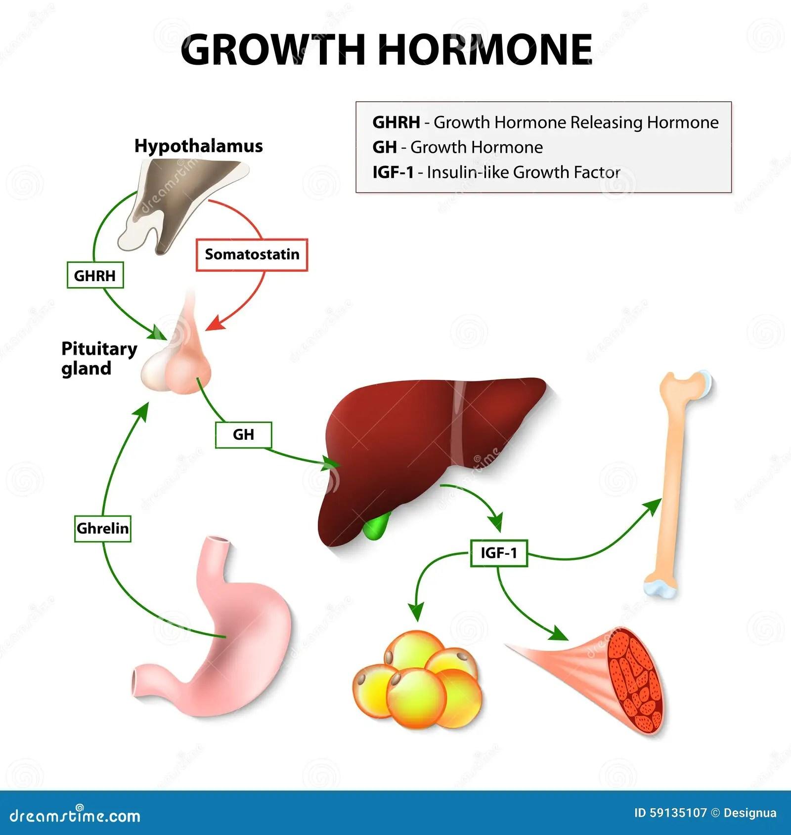 Human Growth Hormone Stock Vector Illustration Of Hormone