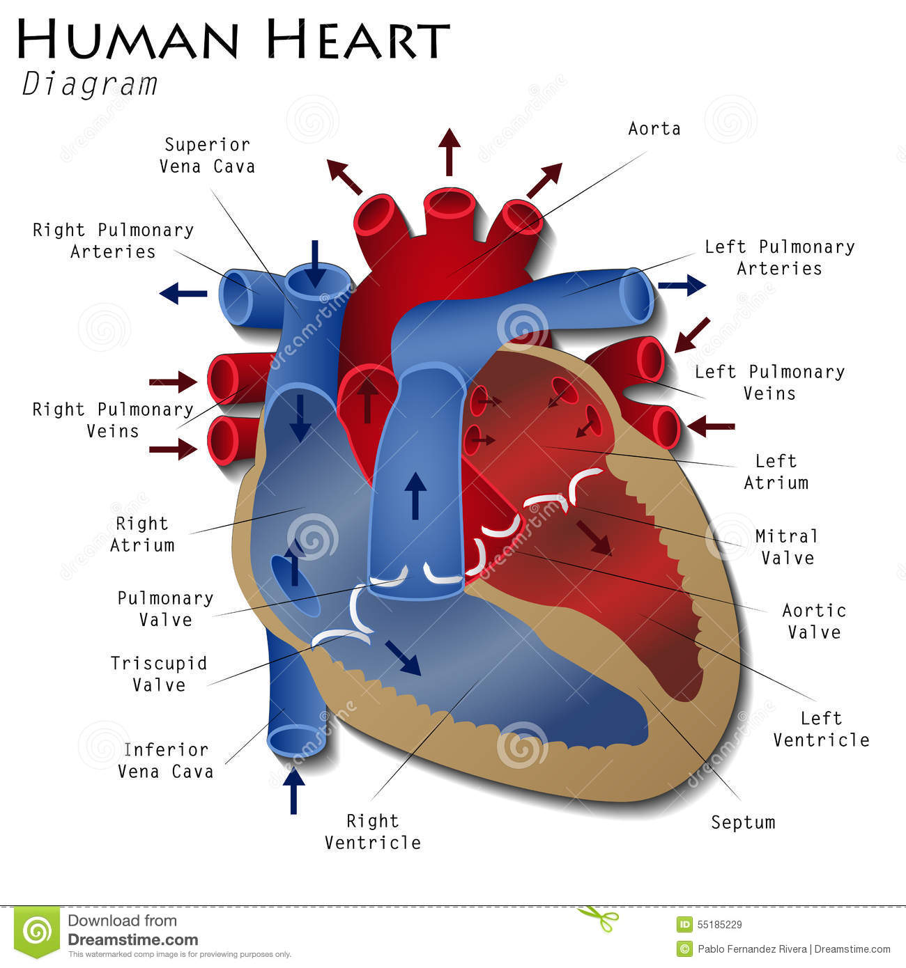 Human Heart Diagram Stock Illustration