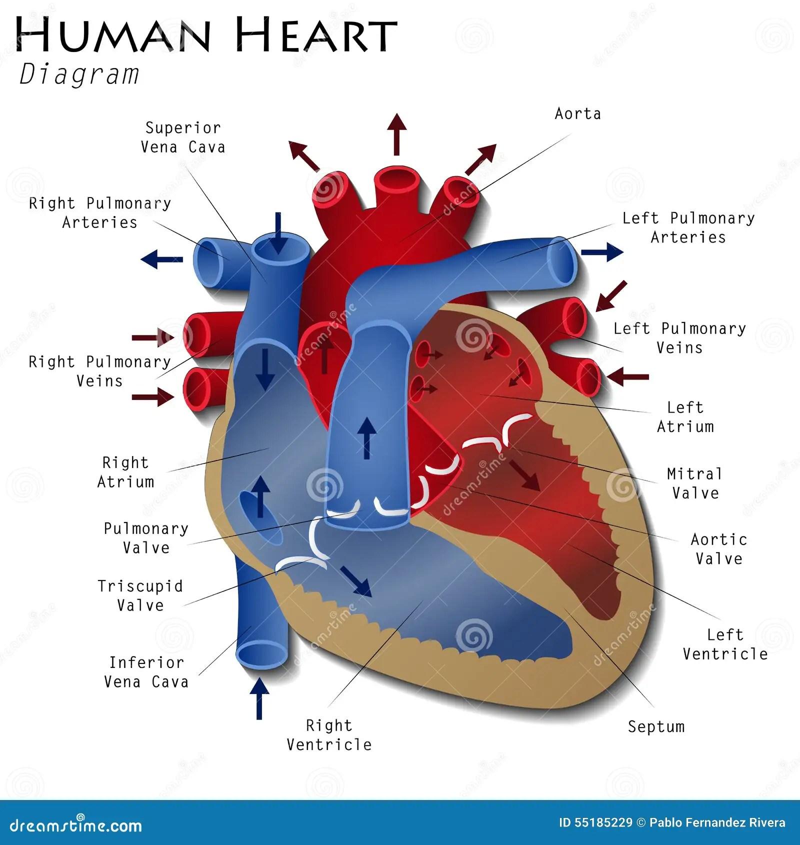Human Heart Diagram Stock Illustration Illustration Of