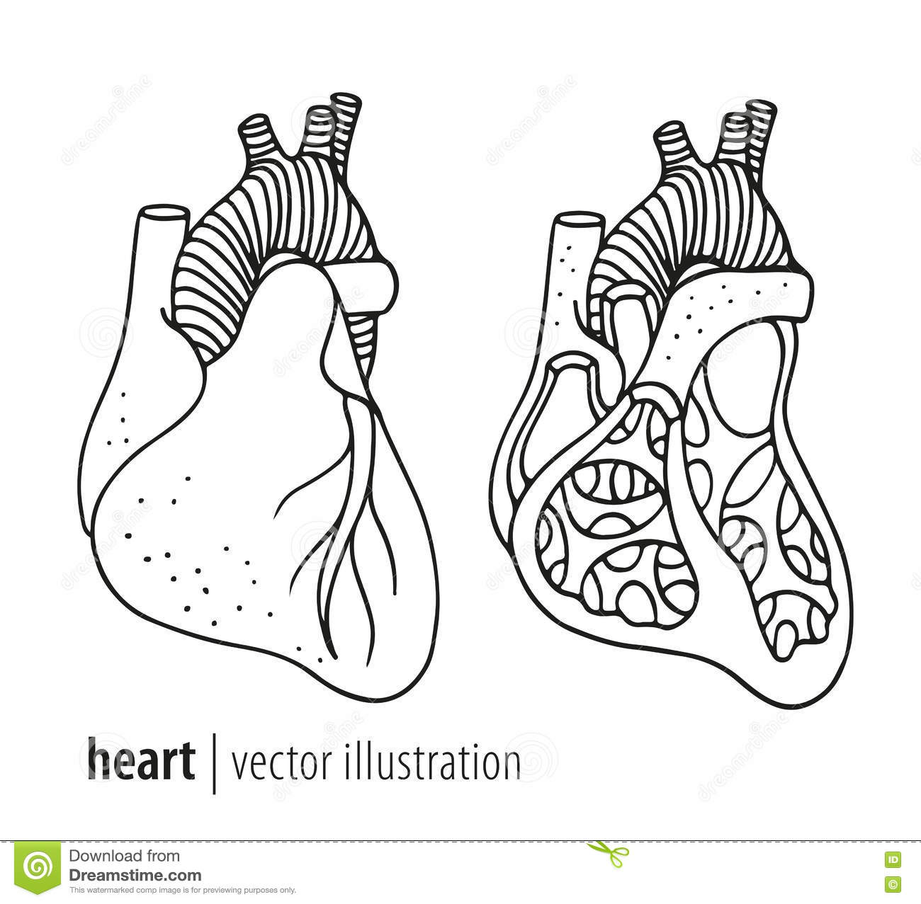 Human Heart Cross Section Stock Illustration