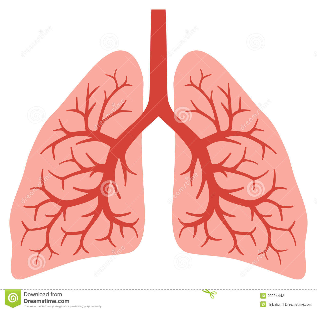 Human Lungs Stock Vector Illustration Of Being Lobe
